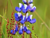 Lupine and Sheep Sorrel