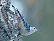 White breast Nuthatch