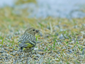 Pine Siskin looking for a meal on the floor