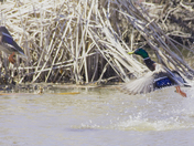 Mallard couple playing water in spring