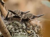 Baby Anna's Hummingbird (2388)