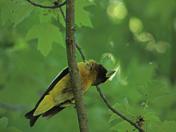Canadan birds