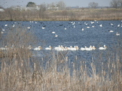 White Pelicans on Flat Water Lake