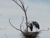 Herons with spring fever