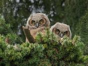 Owlet Pair