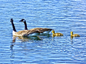The Canada Goose Family