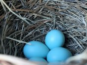 The Blue Bird Have Lay Her Eggs
