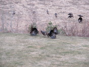 Turkeys Showing Off