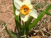 Daffodil in Moriarty