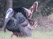 5 iPhotos of male turkey at our pond