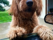 Gus the Goldendoodle
