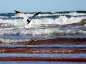 Spring Seagull