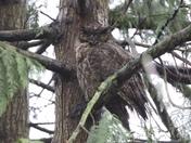 Bard Owl?