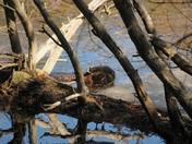 spring bever