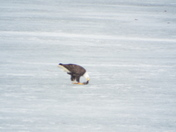 Northwood Eagle