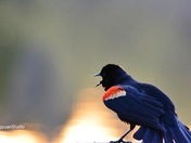 Red-ringed blackbird is singing