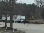 Moose in Hillsborough