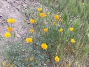 Wildflowers in Pinnacles National Park