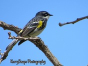 Yellow Rumped Warbler April 16, 2017