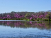 Red Bud trees at Red Haw State Park