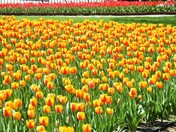 Pella Tulips 2017