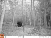 Bear in Dunbarton