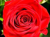 A Rose in Memory