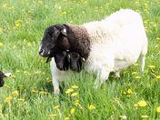shy lambs