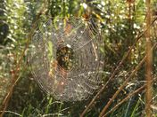 The weaver at work: spider at the marsh.