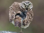 Burrowing Owl (6096)