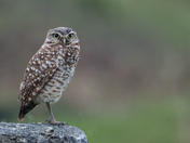 Burrowing Owl (5904)
