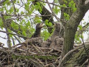 Eaglets having a disagreement April 20, 2017
