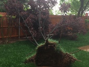 Tree uprooted at my home in northwest Oklahoma City 4-21-2017 (Linda Long)