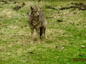 Coyote at Wanna Baker's in Weathersfield, VT Also Lunchtime for Cardinals