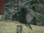 Turkey Vulture came to visit last week, pretty scary I'd say.