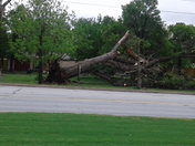 Huge tree out of ground