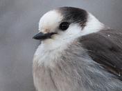 Gray Jay portrait