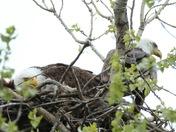 Wehrspann Lake Eagle pup. 4/20/17