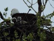 Wehrspann eagles