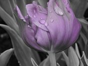 Purple in the Rain