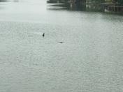 Gator in Bayou St. John