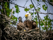 Today at Grays Lake: Eagle and baby eagle watch onlookers