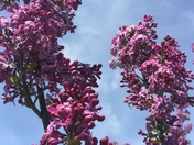 Flowering Crab Trees at Water Works Park