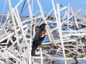 Red-winged black bird on a reed at the marsh