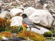 Spring robin at the pond's waterfalls