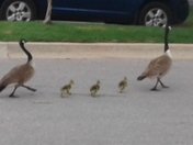Goslings life's matter too please slow down