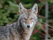 Whistler Wild Coyote