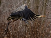 Great blue heron at Ausable Point