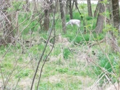 Albino deer at Swan Lake, Carroll IA