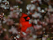 Northern cardinal in the Blossoms